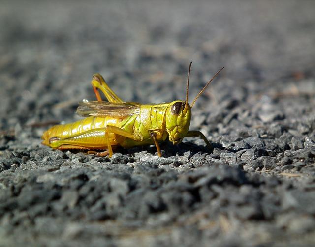 grasshopper / sauterelle