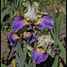Iris Gentilhomme du B