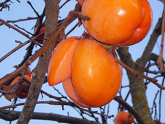 Unusual persimmon.