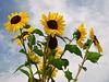 Sonnige Sonnenblumen
