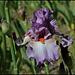 Iris Glory Bound  (1)