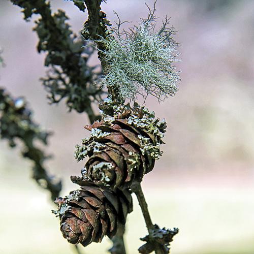 Fruticose lichen on Larch.  Usnea subfloridana.