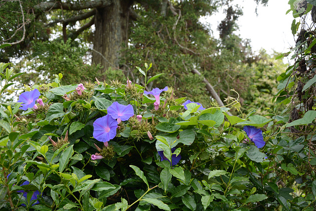 Azores, Island of San Miguel, Flowers