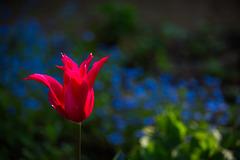 Tulpe vor Veronika