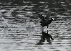 Blässhuhn beim Lauf über's Wasser
