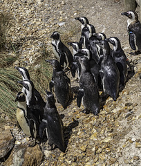 An audiance of Penguins