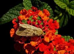 Moth.  9268428