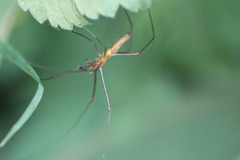 Long Jawed Orb Web Spider