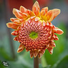Pictures for Pam, Day 123: Fancy Hair Dahlia