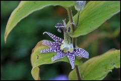 Tricyrtis hirta (4)
