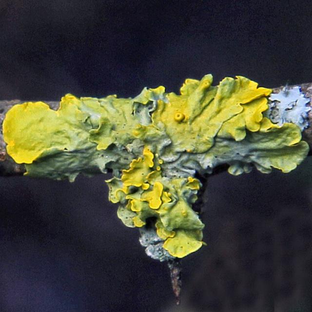 Foliose lichen, Xanthoria parietina,  on hawthorn