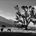 Owens Valley - lonesome tree 1986 - HFF!