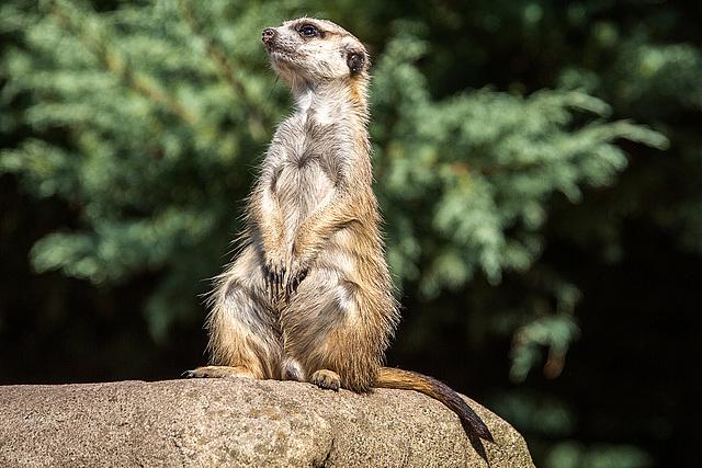 20150911 8873VRAw [D~HF] Erdmännchen (Suricata suricatta), Tierpark, Herford