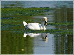 Cygne à l'étang des Maffins ( Combourg) 35