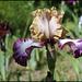 Iris Hinduh Magic (2)