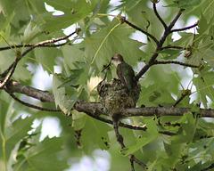 maman colibri est de retour