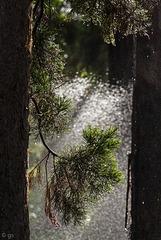 Dusche für die Mammutbäume (PiP)