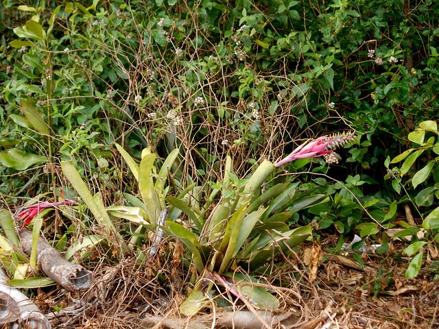 DSCN1182 - Aechmea nudicaulis, Bromeliaceae, sobre Figueira-mata-pau