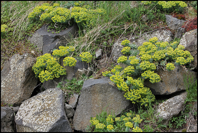Euphorbia myrsinites 2