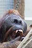 Ujian gähnt (Zoo Heidelberg)