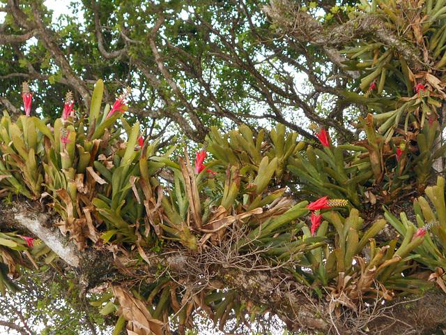 DSCN1183 - Aechmea nudicaulis, Bromeliaceae, sobre Figueira-mata-pau