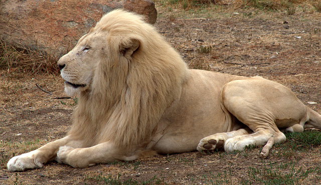 White Lion at The National Zoo
