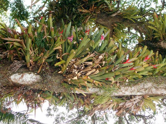 DSCN1184 - Aechmea nudicaulis, Bromeliaceae, sobre Figueira-mata-pau