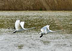 Wie Pfeile fliegen die Schwäne über das Wasser