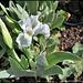 Iris nain blanc (2)