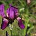 Iris Imperator (2)