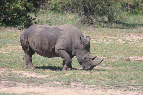 Full Size Rhino