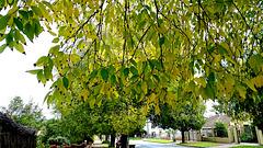 Street tree autumn