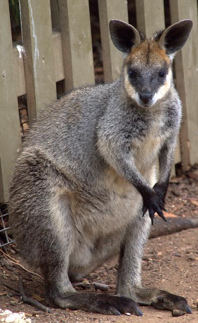 Kangaroo at The National Zoo