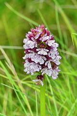 P1370600- Orchis pourpre (Orchis purpurea) - Hauts de Chalabre.  04 mai 2021