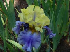 Iris bicolore