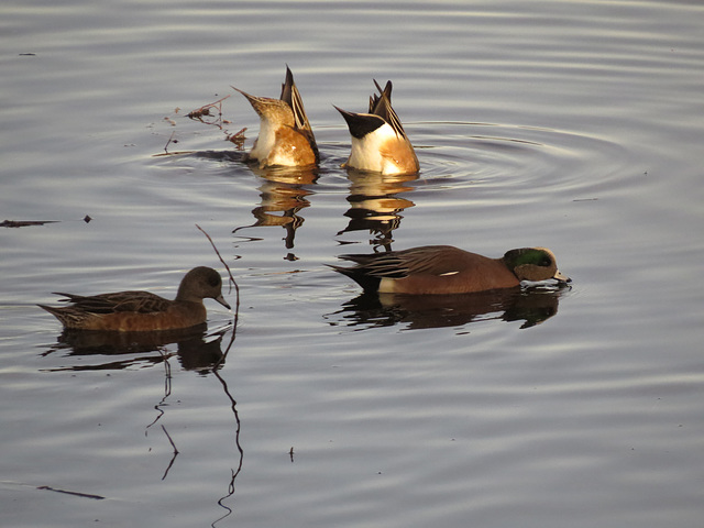 American wigeons (front), some other ducks (rear)