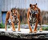 Tigers - Zoo