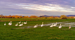 Swans on the Levels