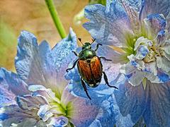 6155292 DxOdL · Beetle