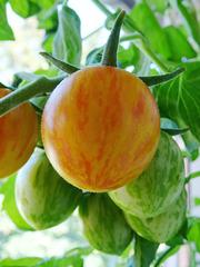 Tomate Sunrise Bumblebee