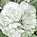 A pearlescent peony