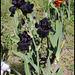 Iris Old Black Magic (1)