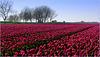 Tulpen, zo ver het oog reikt... (+ PiP)!