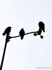 Starling Silhouettes