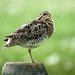 Wilson's Snipe, hiding beak