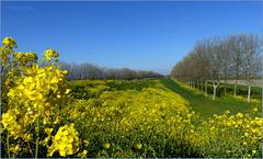 Koolzaad is één van de langst bloeiende bermbloemen. Echt genieten!