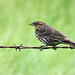 Red-winged Blackbird, female or juvenile