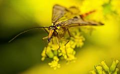 ........die Skorpionfliege fühlt sich richtig wohl auf der kanadischen Goldrute