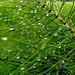 Equisetrum Arvense  drops