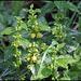 Lamium galeobdolon (2)